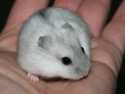 Scouic, rongeur Hamster