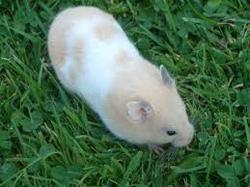 Scouic Au Paradis, rongeur Hamster