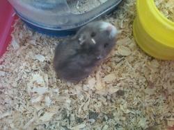 Scouike, rongeur Hamster