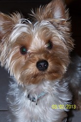 Scratch, chien Yorkshire Terrier