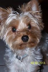 Scratch, chien Yorkshire Terrier