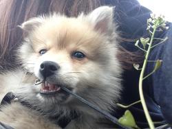 Scratchy, chien Spitz allemand