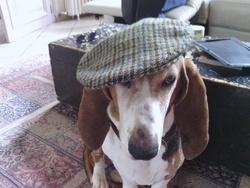Sean, chien Basset artésien normand