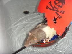 Seascape, rongeur Rat