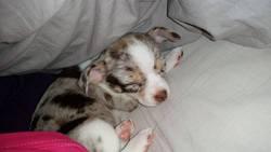 Sebastien, chien Chihuahua