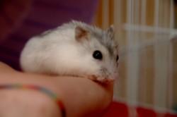 Sebastien, rongeur Hamster