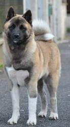 Secret Of Gekkou Ibuki, chien Akita américain
