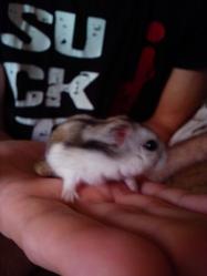 Seed, rongeur Hamster