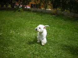Seidji, chien West Highland White Terrier