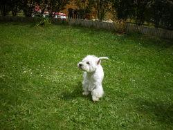 Seidji, chien West Highland White Terrier