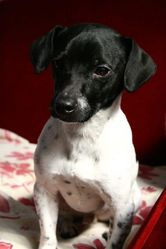 Seize, chien Jack Russell Terrier