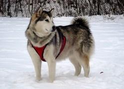 Séléna, chien Malamute de l'Alaska