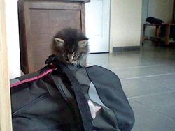 Séleste Adopter , chat Gouttière