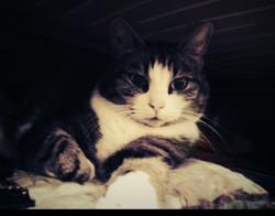 Selkis, chat Européen