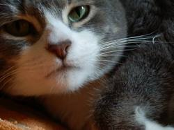 Selmac, chat Européen