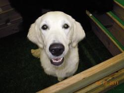 Selwyn, chien Labrador Retriever