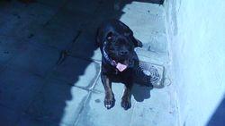 Senssi-Millia, chien