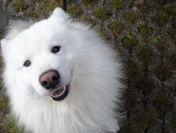 Sep, chien Samoyède