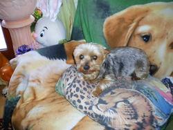 Séphora, chien Yorkshire Terrier