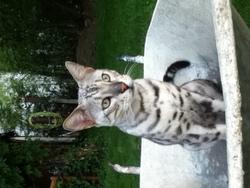 Séphyr, chat Bengal