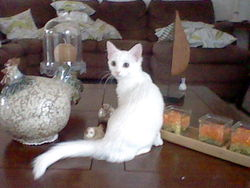 Serafina, chat Angora turc