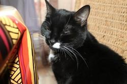 Seraphine, chat Européen