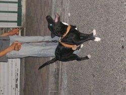 Sérena, chien American Staffordshire Terrier