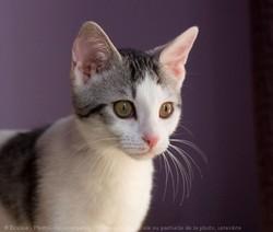 Séréna, chat Européen