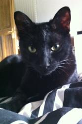 Serge, chat Européen