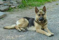 Sergent, chien Berger allemand
