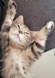 Sergio, chien Petit brabançon