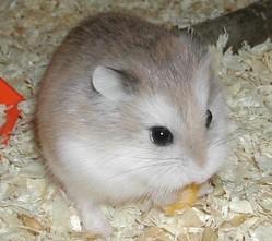 Serviette, rongeur Hamster