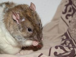 Seth Rip, rongeur Rat