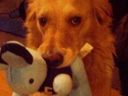 Sethi, chien Golden Retriever