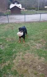 Seven, chien Rottweiler
