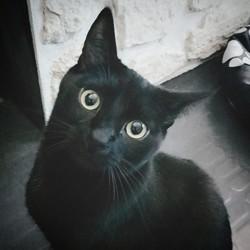 Severus, chat Européen
