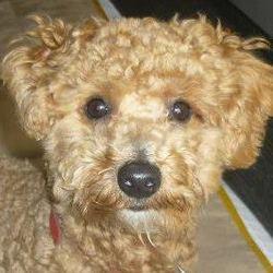 Sevy, chien Caniche