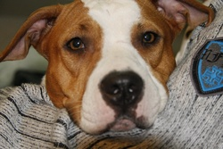 Sexxy, chien Bull Terrier