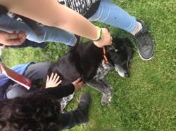 Sferonce, chien Beagle