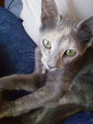Sha D'Argo, chaton Européen
