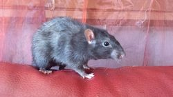 Shadow, rongeur Rat