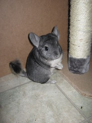 Shadow, rongeur Chinchilla