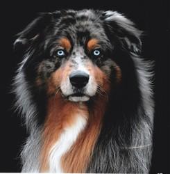 Shadow, chien Berger australien
