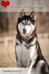 Shadow, chien Husky sibérien