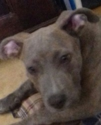 Shadow, chiot American Staffordshire Terrier