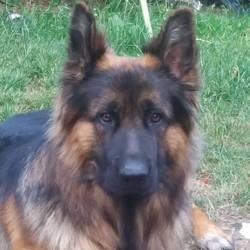 Shadow, chien Berger allemand