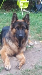 Shadow, chien Berger allemand