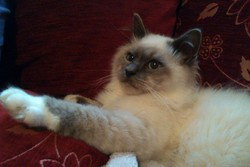 Shadow, chat Birman