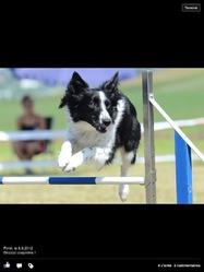 Kira, chien Border Collie