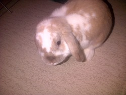 Shadow, rongeur Lapin